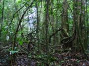 Terraristiktag: Surinam - Tapir, Kaiman und Färberfrösche (D. tinctorius)
